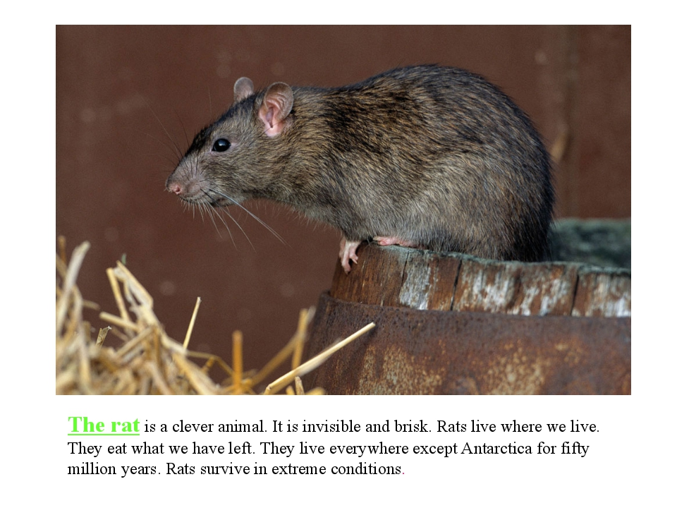 The rat is a clever animal. It is invisible and brisk. Rats live where we liv...