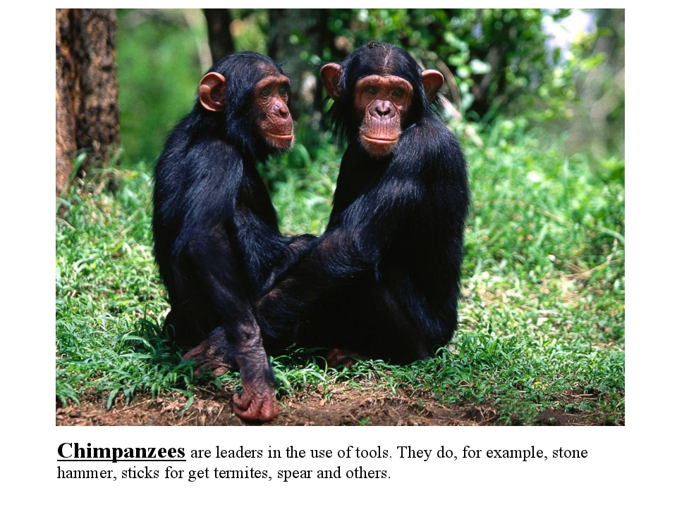 Chimpanzees are leaders in the use of tools. They do, for example, stone hamm...