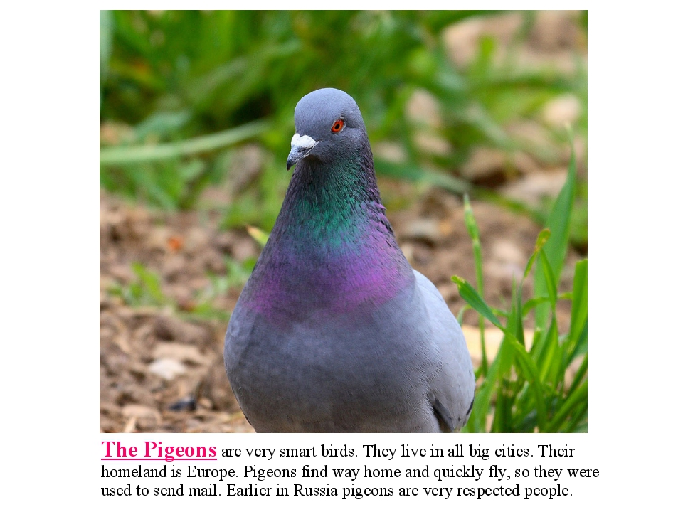 The Pigeons are very smart birds. They live in all big cities. Their homeland...