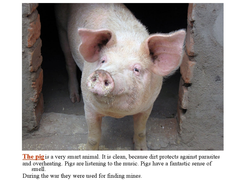 The pig is a very smart animal. It is clean, because dirt protects against pa...