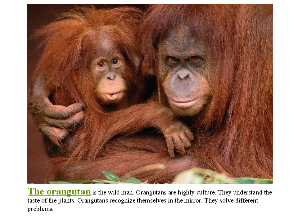 The orangutan is the wild man. Orangutans are highly culture. They understand...