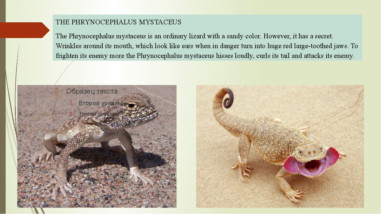 THE PHRYNOCEPHALUS MYSTACEUS The Phrynocephalus mystaceus is an ordinary liz...