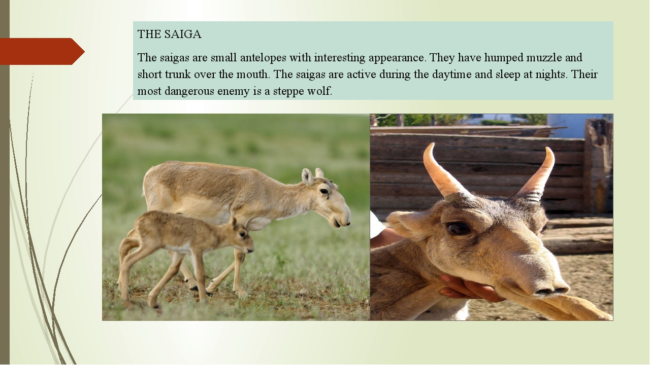 THE SAIGA The saigas are small antelopes with interesting appearance. They h...