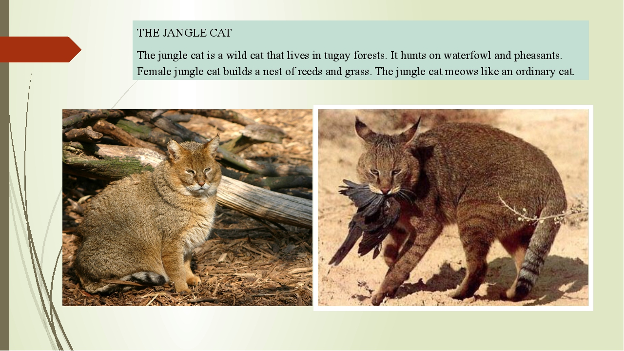 THE JANGLE CAT The jungle cat is a wild cat that lives in tugay forests. It...