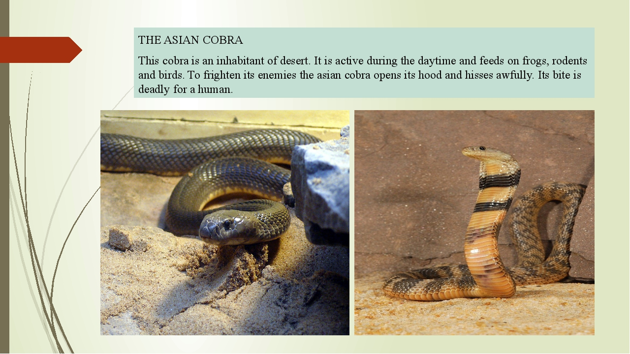 THE ASIAN COBRA This cobra is an inhabitant of desert. It is active during t...