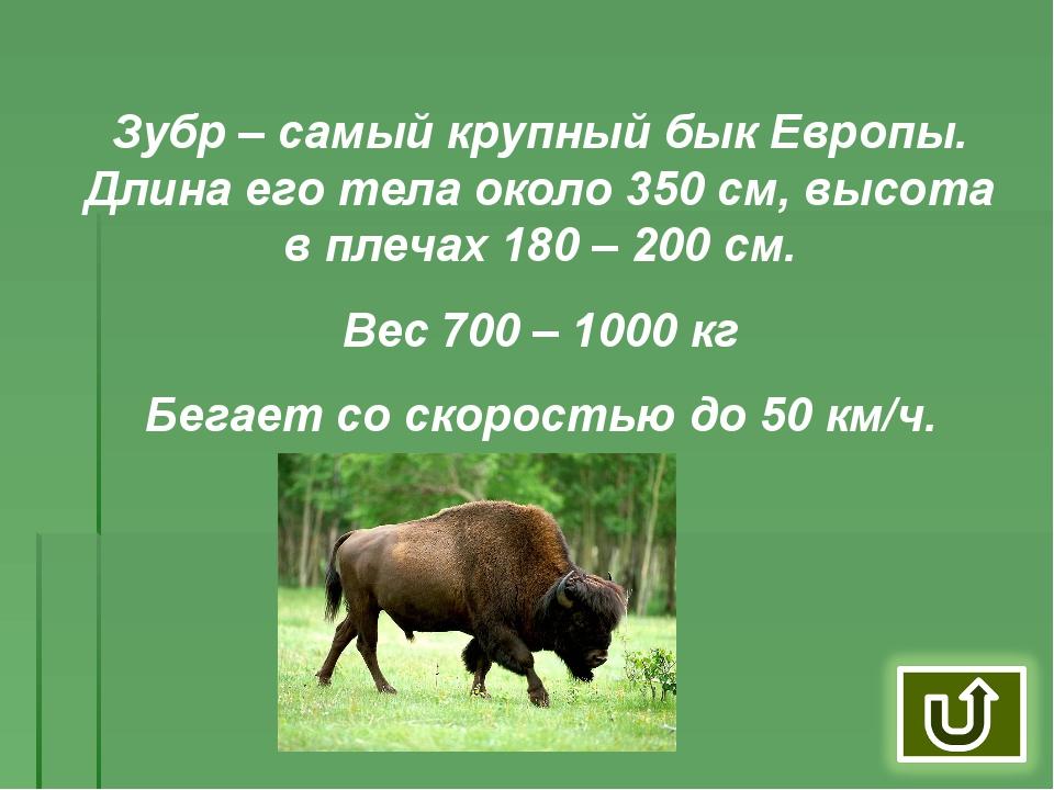 Зубр – самый крупный бык Европы. Длина его тела около 350 см, высота в плечах...