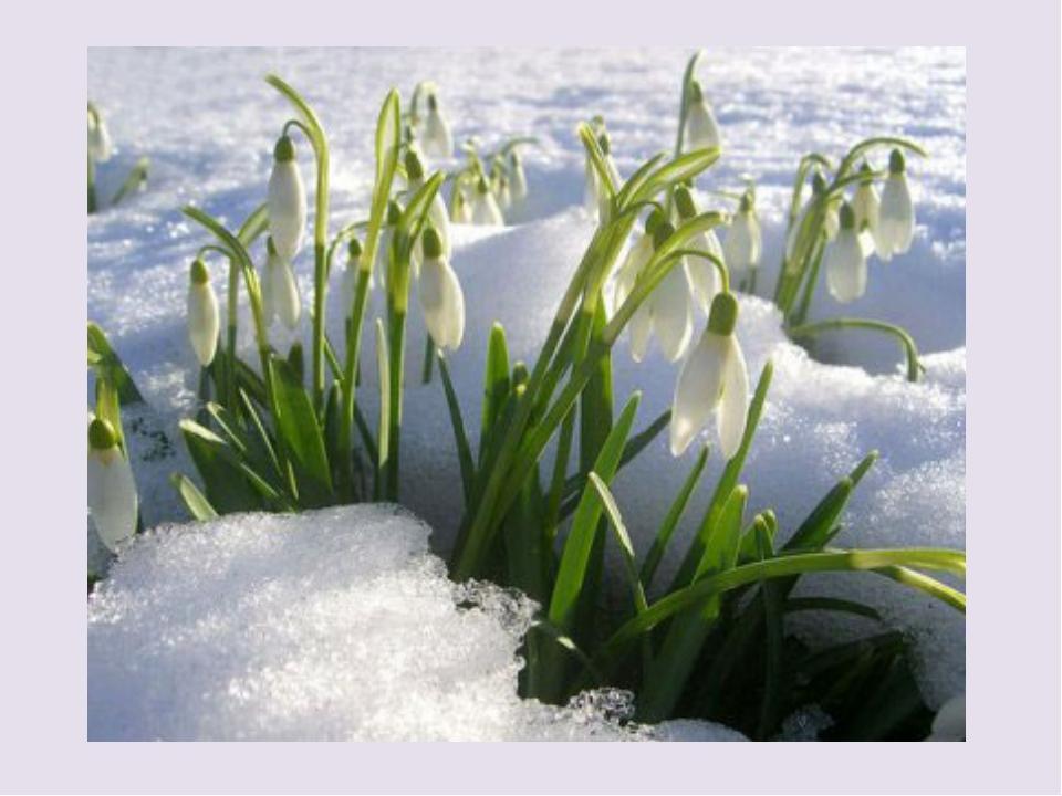 Подснежник — единственный цветок, который выживает холодной ранней весной. В...