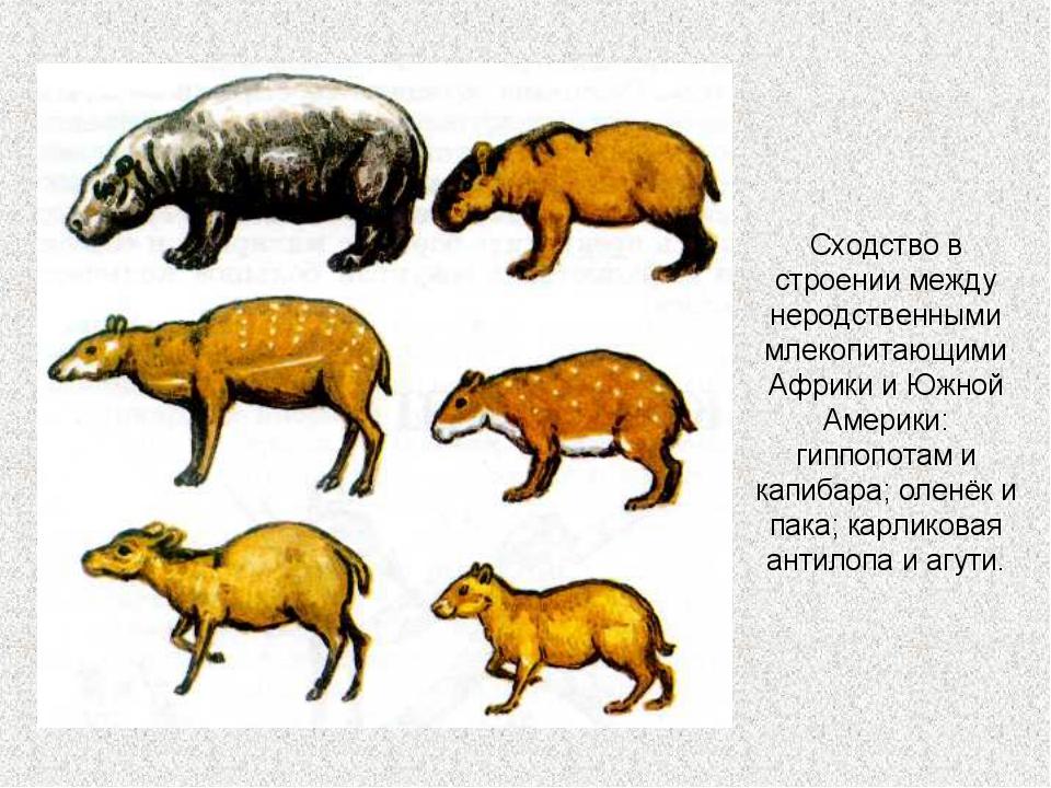 Сходство в строении между неродственными млекопитающими Африки и Южной Америк...