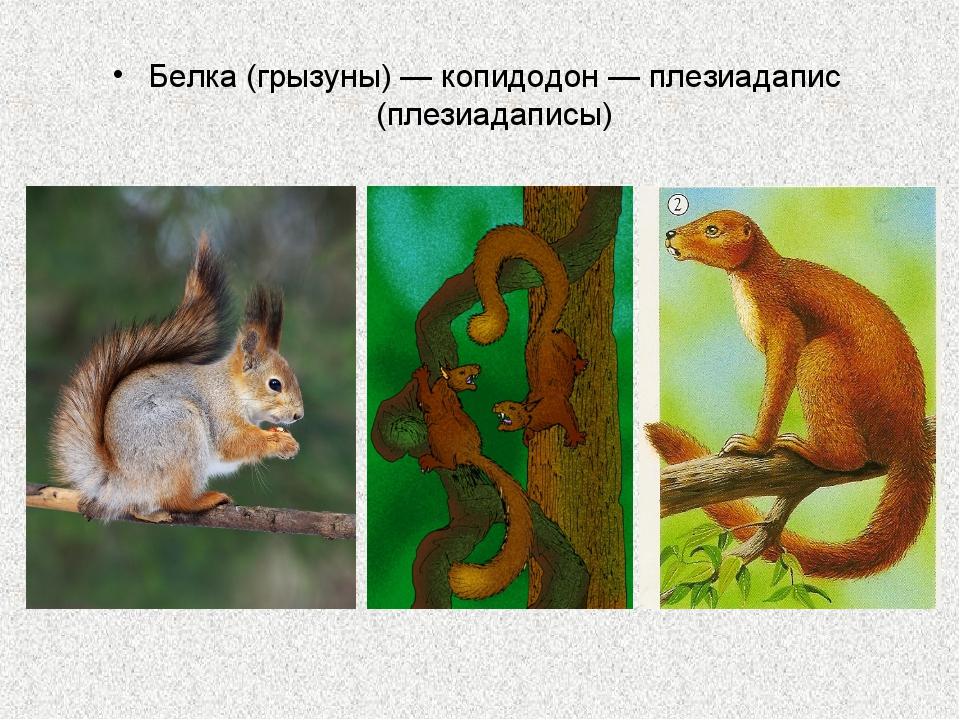 Белка (грызуны) — копидодон — плезиадапис (плезиадаписы)