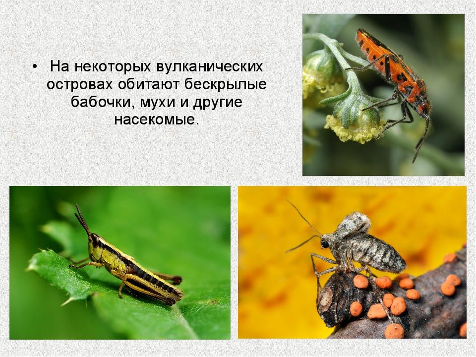 На некоторых вулканических островах обитают бескрылые бабочки, мухи и другие...