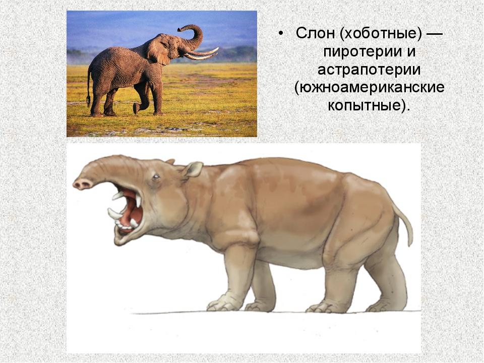 Слон (хоботные) — пиротерии и астрапотерии (южноамериканские копытные).