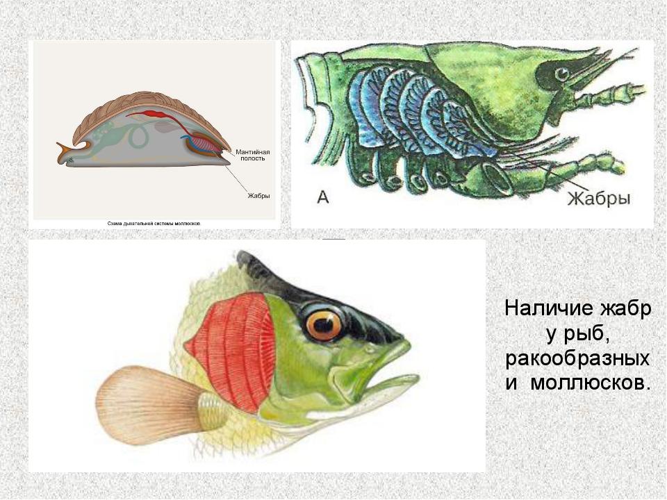 Наличие жабр у рыб, ракообразных и моллюсков.
