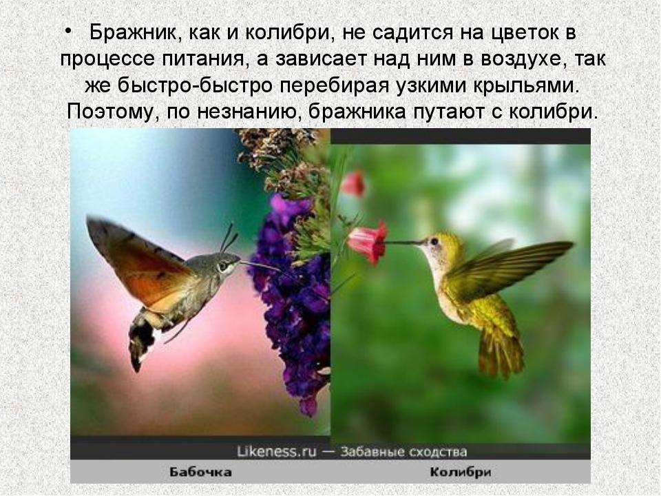 Бражник, как и колибри, не садится на цветок в процессе питания, а зависает н...
