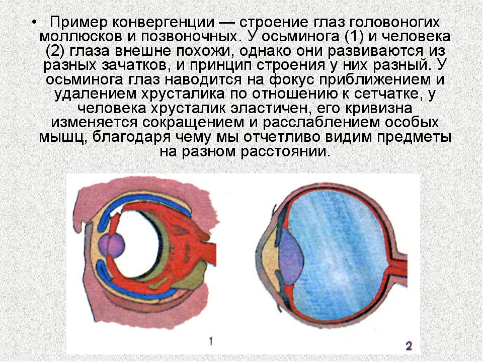 Пример конвергенции — строение глаз головоногих моллюсков и позвоночных. У ос...