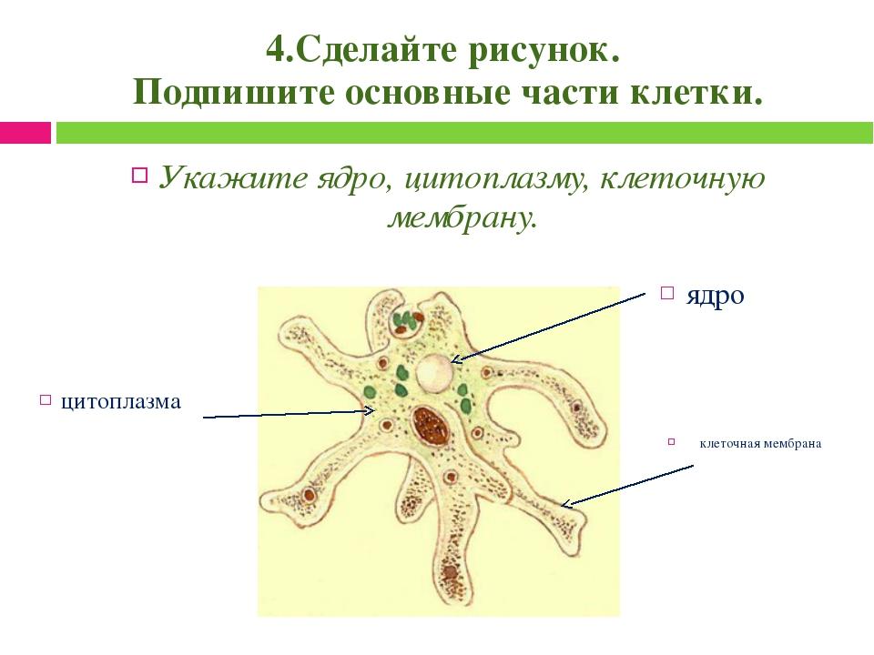 4.Сделайте рисунок. Подпишите основные части клетки. Укажите ядро, цитоплазму...