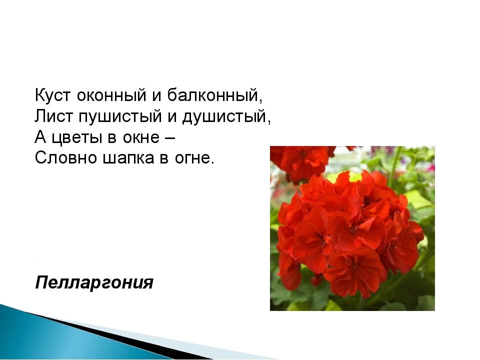 Куст оконный и балконный, Лист пушистый и душистый, А цветы в окне – Словно ш...