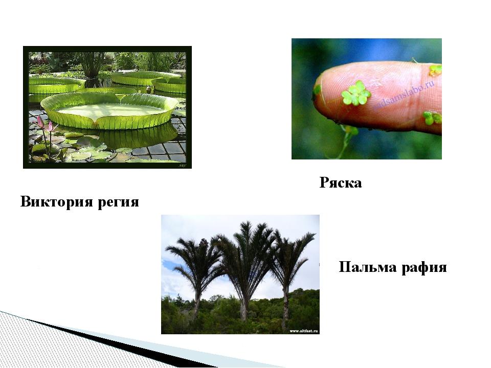 Виктория регия Ряска Пальма рафия