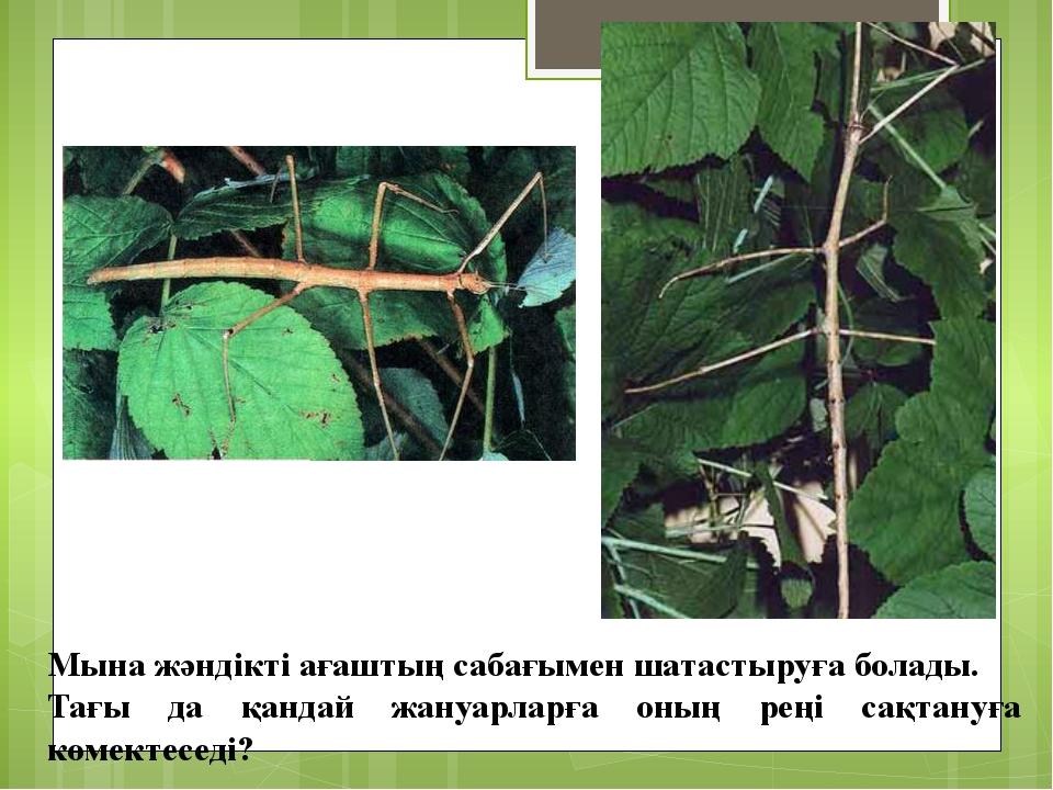 Мына жәндікті ағаштың сабағымен шатастыруға болады. Тағы да қандай жануарларғ...