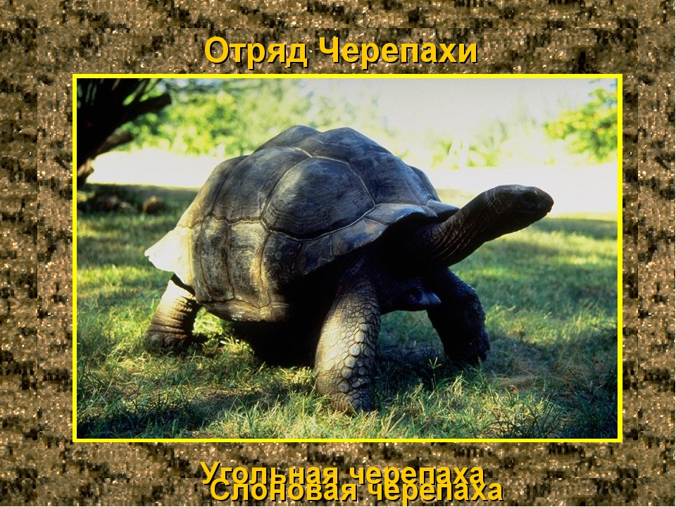 Отряд Черепахи Угольная черепаха Слоновая черепаха