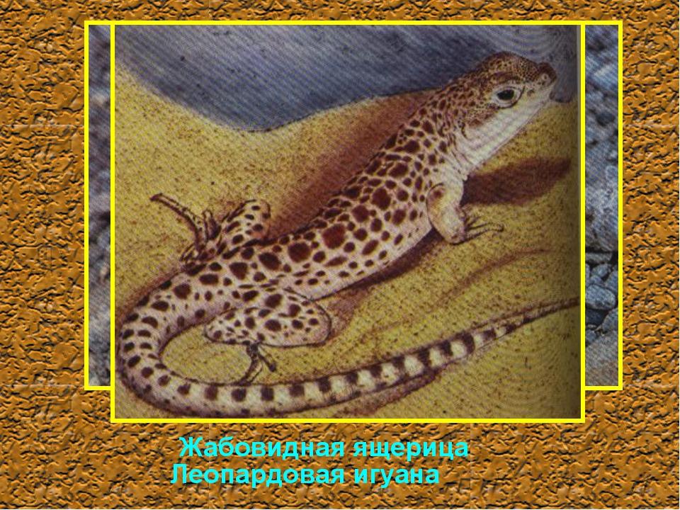 Жабовидная ящерица Леопардовая игуана