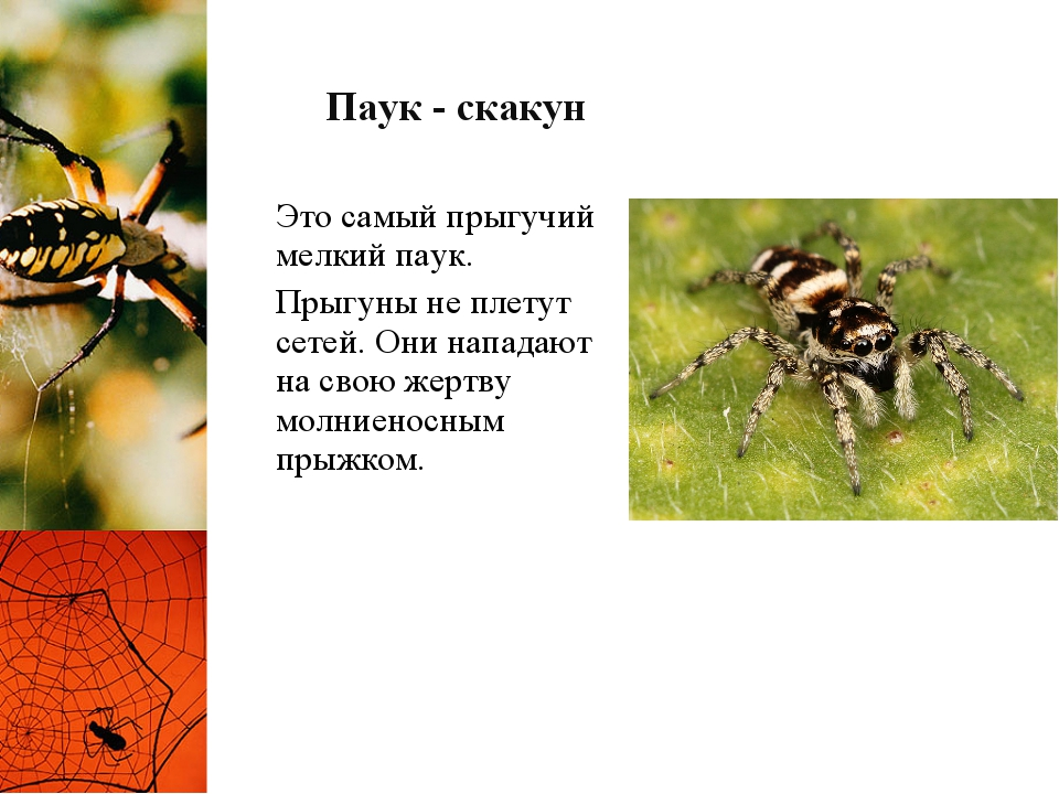 Паук - скакун Это самый прыгучий мелкий паук. Прыгуны не плетут сетей. Они на...
