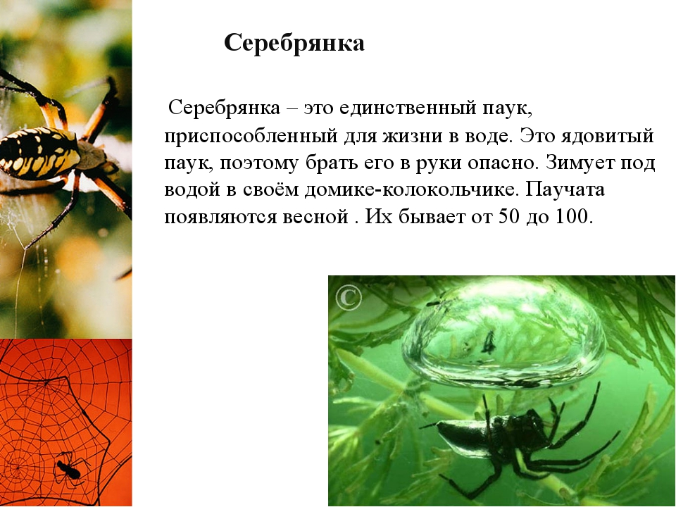 Серебрянка Серебрянка – это единственный паук, приспособленный для жизни в во...