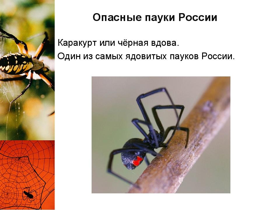Опасные пауки России Каракурт или чёрная вдова. Один из самых ядовитых пауков...