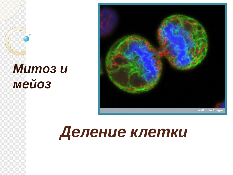 Деление клетки Митоз и мейоз
