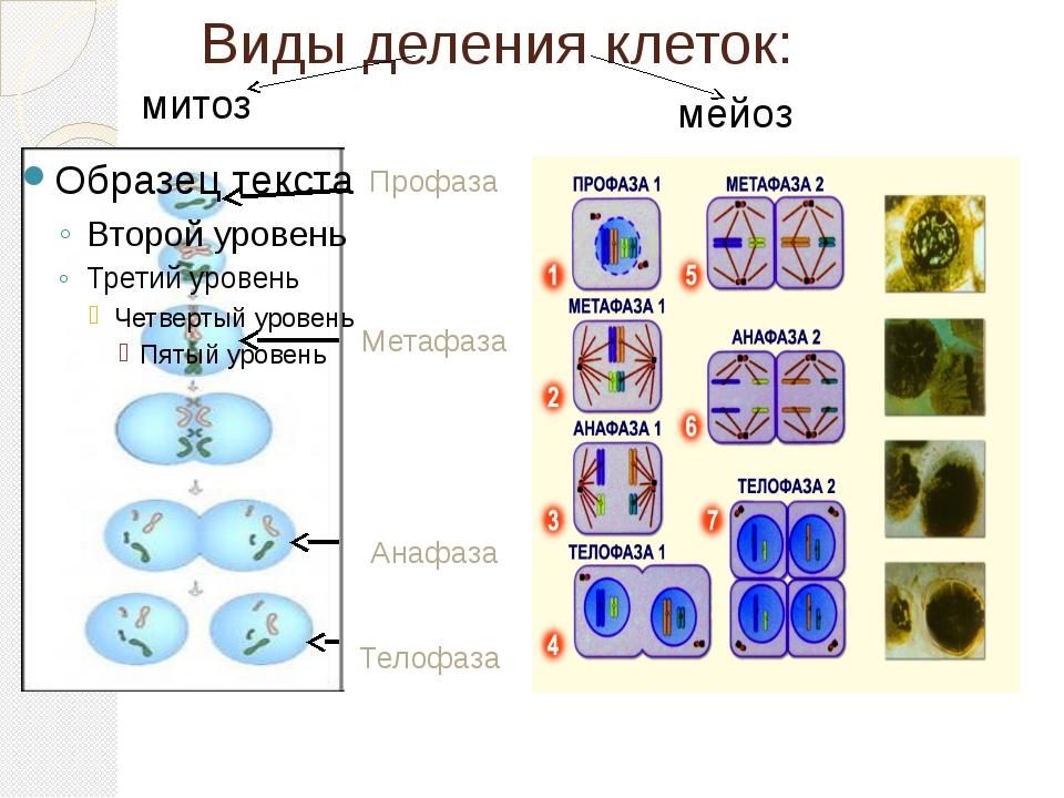 Виды деления клеток: Профаза Метафаза Анафаза Телофаза митоз мейоз
