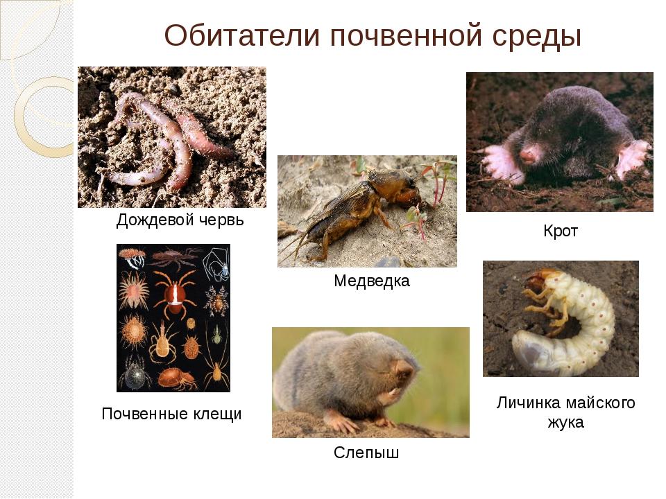 Обитатели почвенной среды Дождевой червь Крот Медведка Личинка майского жука...