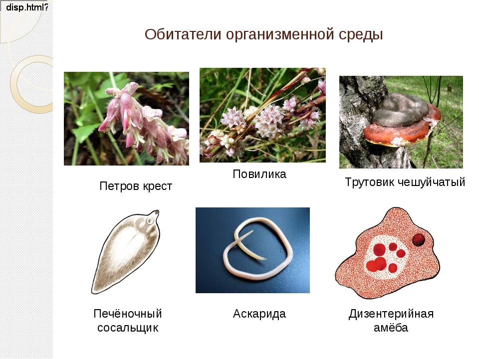 Обитатели организменной среды Аскарида Петров крест Повилика Трутовик чешуйча...