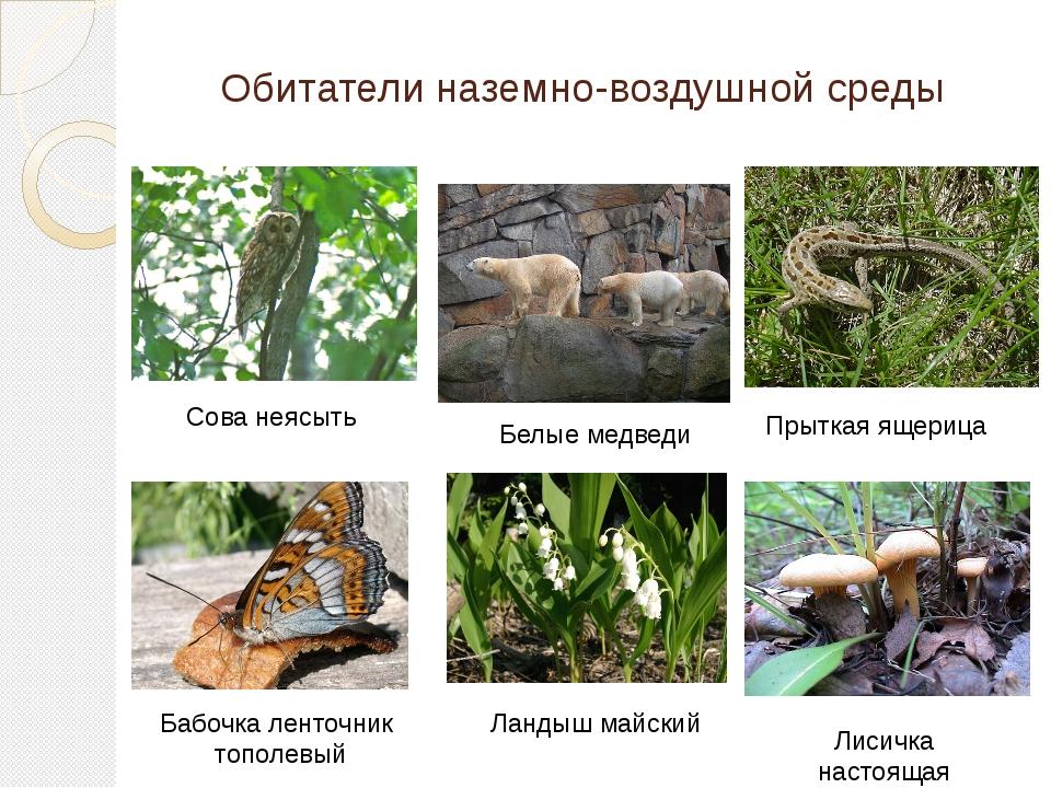 Обитатели наземно-воздушной среды Бабочка ленточник тополевый Белые медведи П...