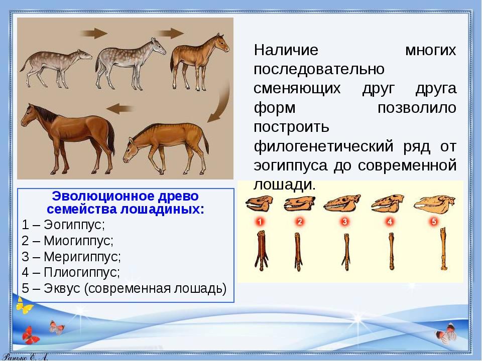 Эволюционное древо семейства лошадиных: 1–Эогиппус; 2–Миогиппус; 3–Мери...