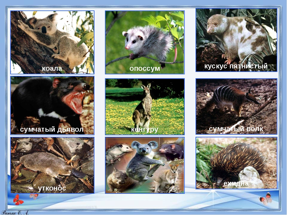коала опоссум кускус пятнистый сумчатый дьявол кенгуру сумчатый волк утконос...