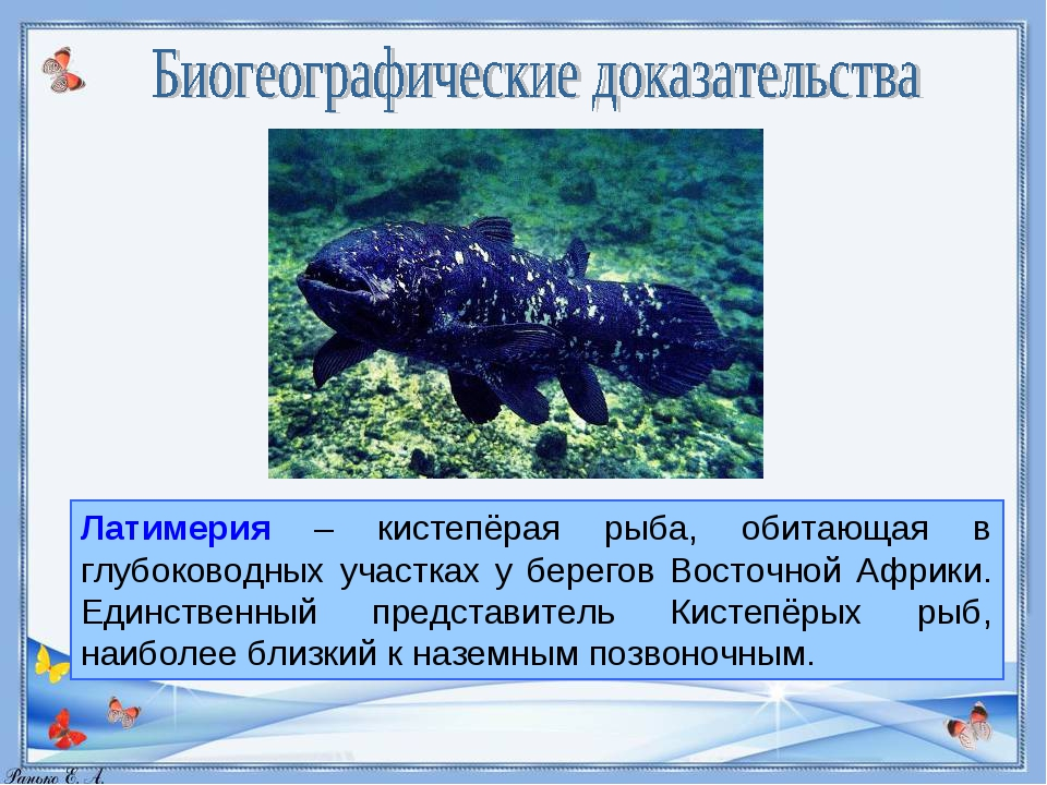 Латимерия – кистепёрая рыба, обитающая в глубоководных участках у берегов Вос...
