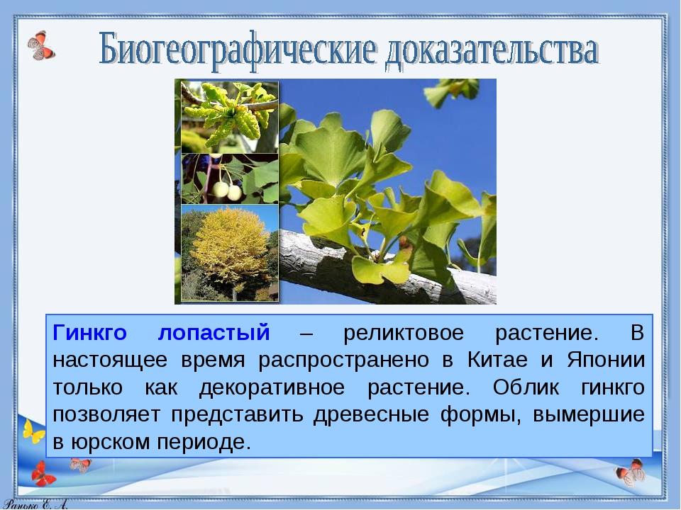 Гинкго лопастый – реликтовое растение. В настоящее время распространено в Кит...