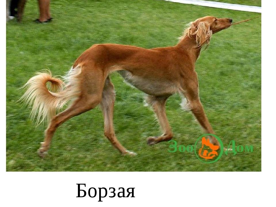 Борзая