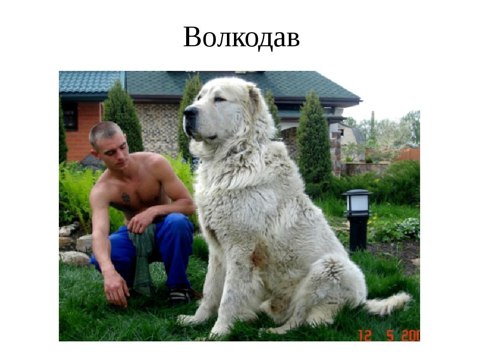 Волкодав