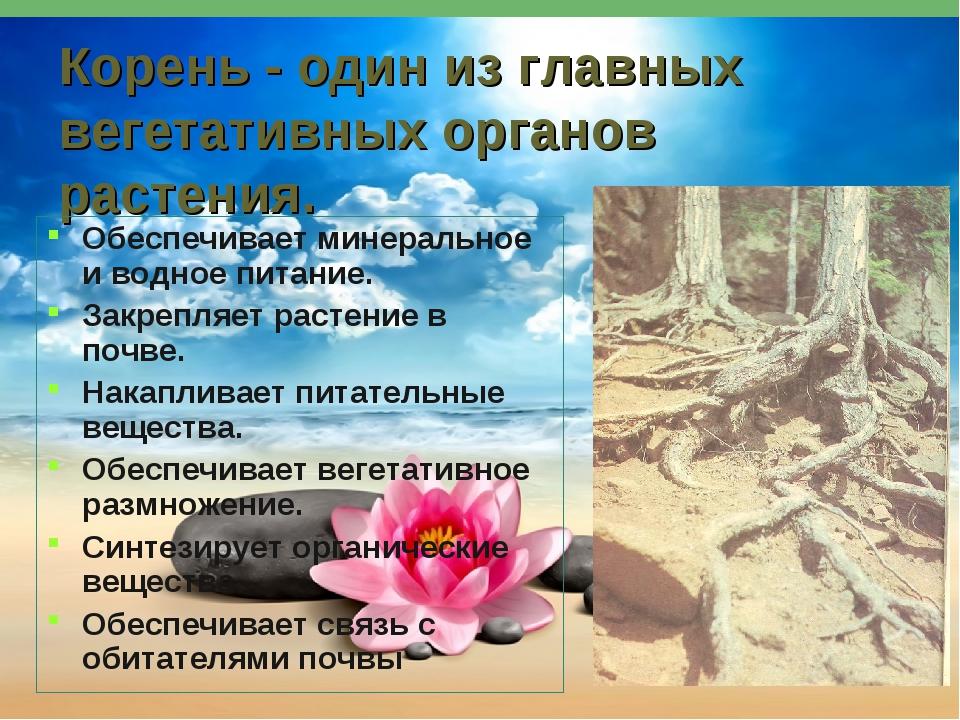 Корень - один из главных вегетативных органов растения. Обеспечивает минераль...
