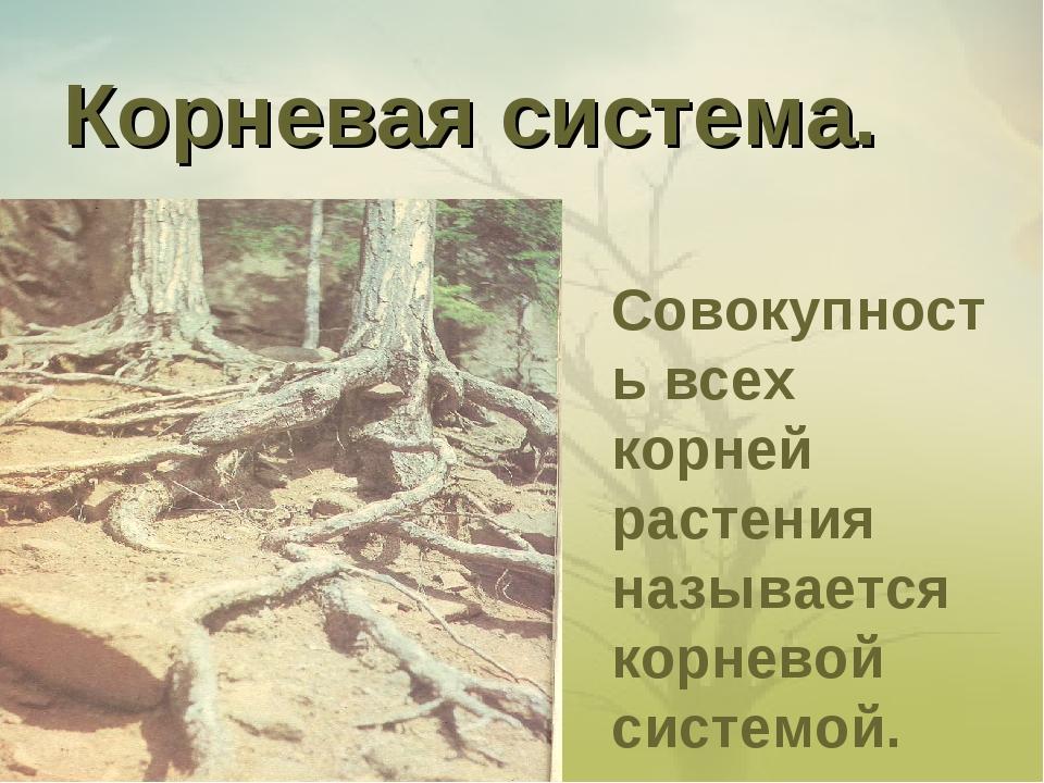 Корневая система. Совокупность всех корней растения называется корневой систе...