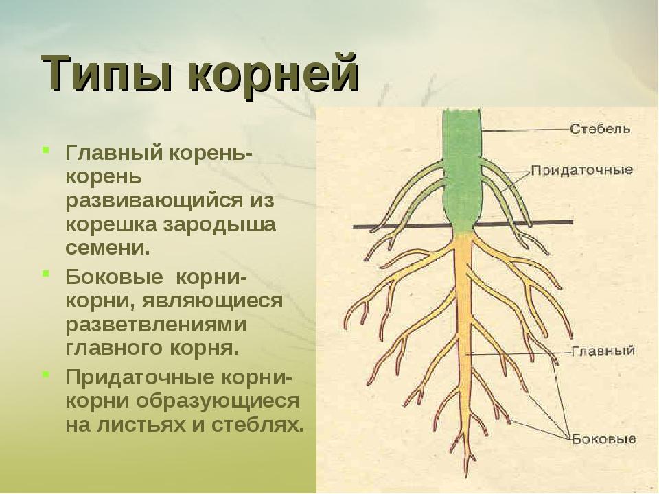 Типы корней Главный корень-корень развивающийся из корешка зародыша семени. Б...