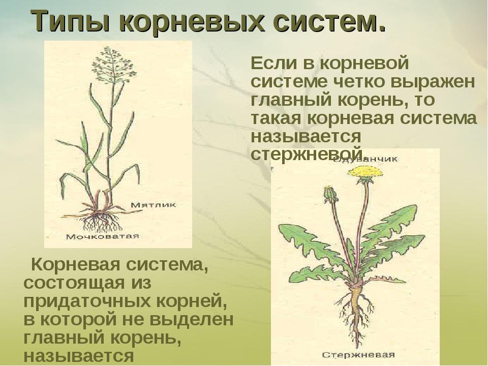Типы корневых систем. Корневая система, состоящая из придаточных корней, в ко...