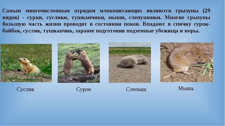 Самым многочисленным отрядом млекопитающих являются грызуны (29 видов) - сур...