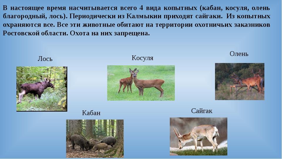 В настоящее время насчитывается всего 4 вида копытных (кабан, косуля, олень б...