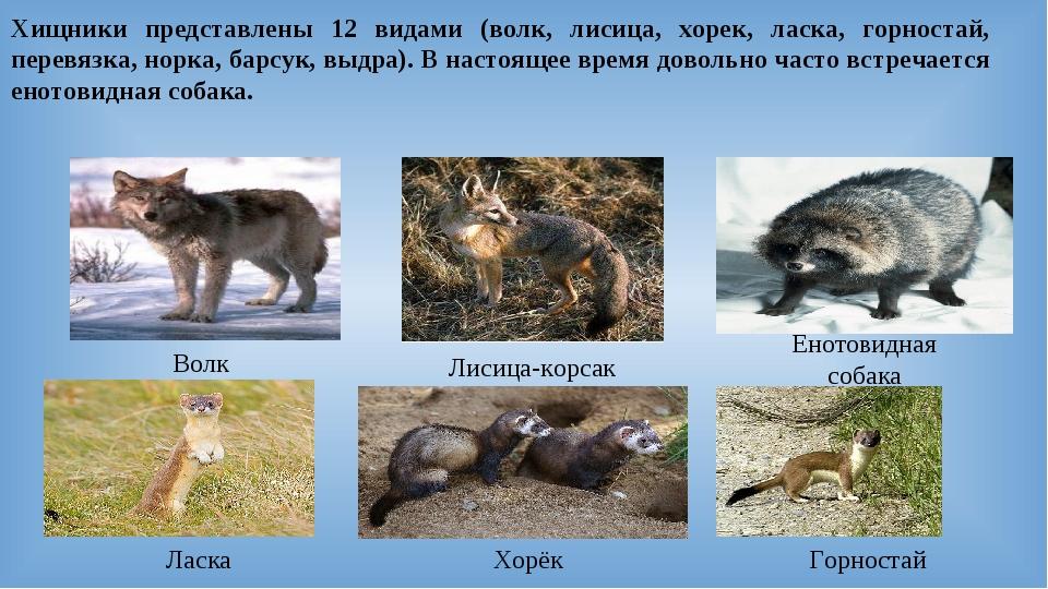 Хищники представлены 12 видами (волк, лисица, хорек, ласка, горностай, перевя...