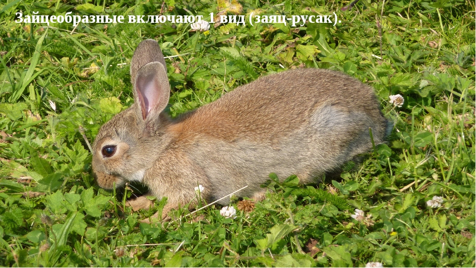 Зайцеобразные включают 1 вид (заяц-русак).