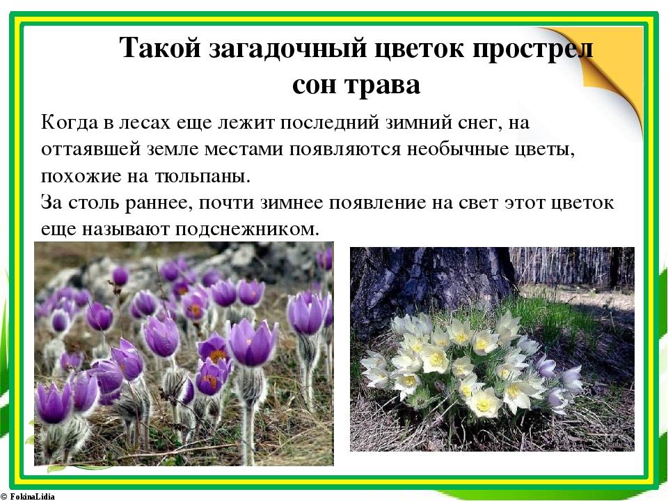 Такой загадочный цветок прострел сон трава Когда в лесах еще лежит последний...