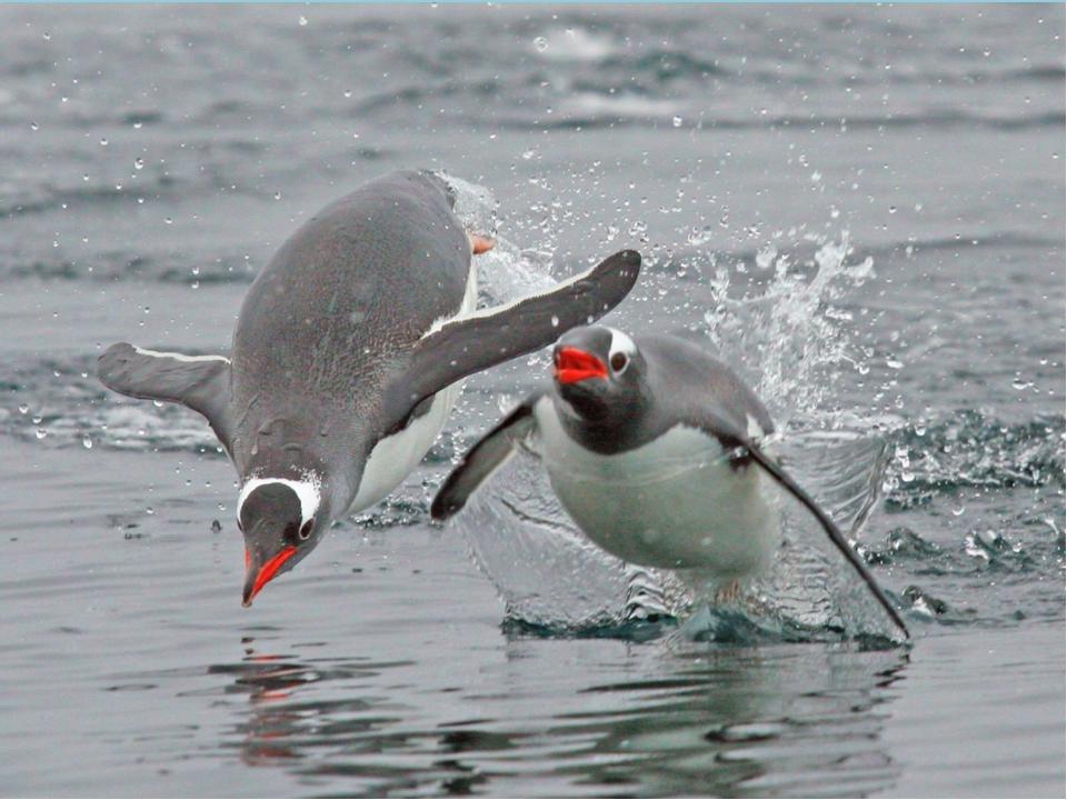 Пингвины – птицы нелетающие. Они превосходно плавают и ныряют.