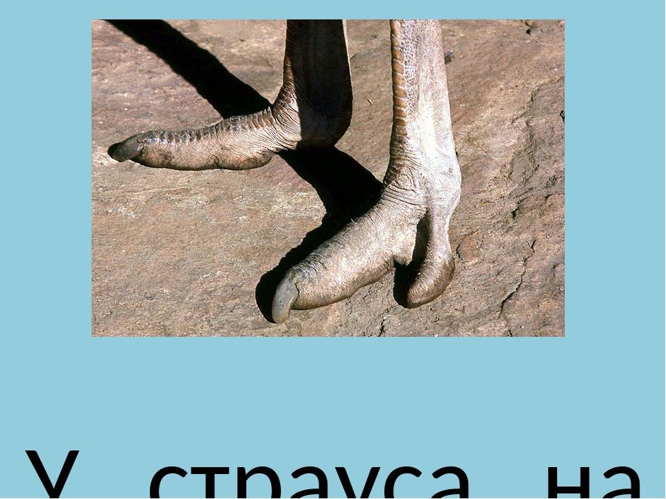 У страуса на ногах всего лишь по два пальца. Один из пальцев гораздо больше...
