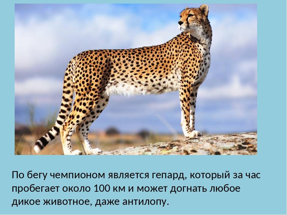 По бегу чемпионом является гепард, который за час пробегает около 100 км и мо...